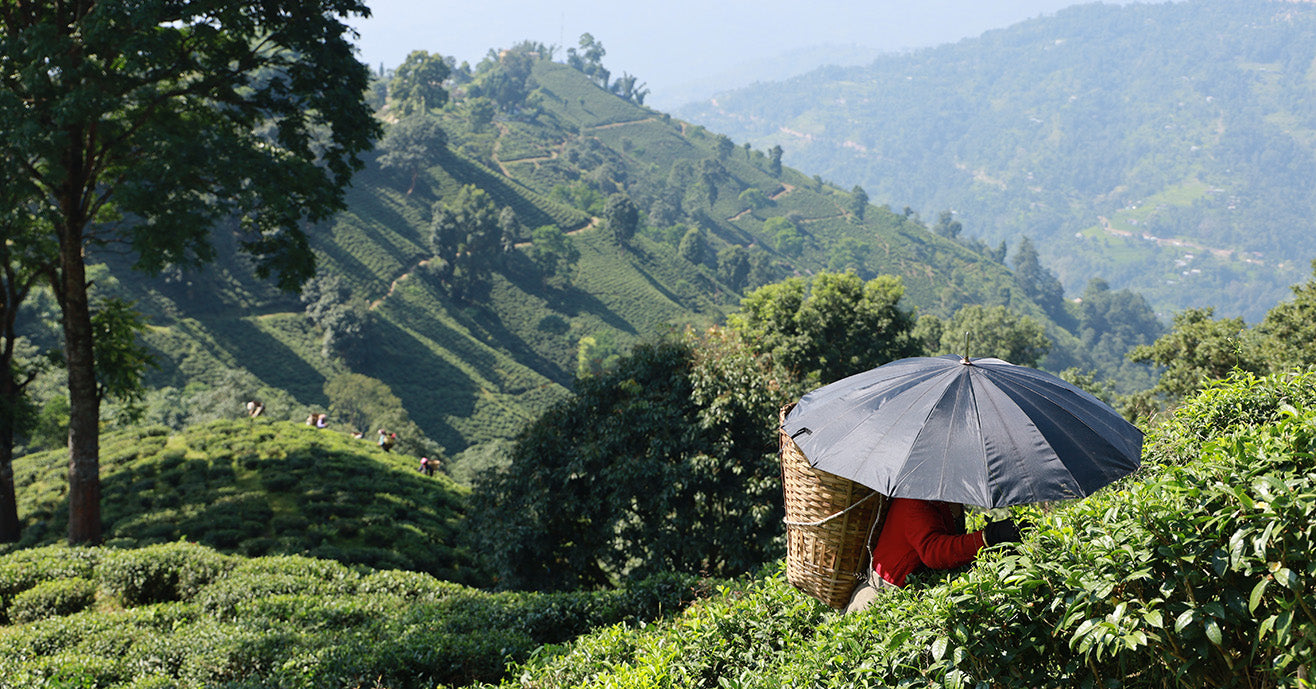 Female tea farmer with umbrella picking tea, Nepal