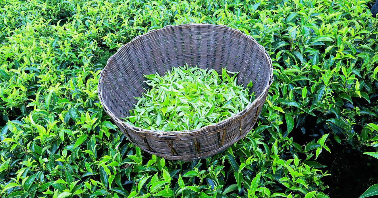 Basket full of bright green fresh tea leaves, Tinjure Cooperative, Nepal