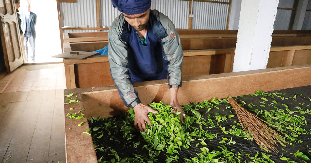 Processing tea leaves, Tinjure Cooperative, Nepal