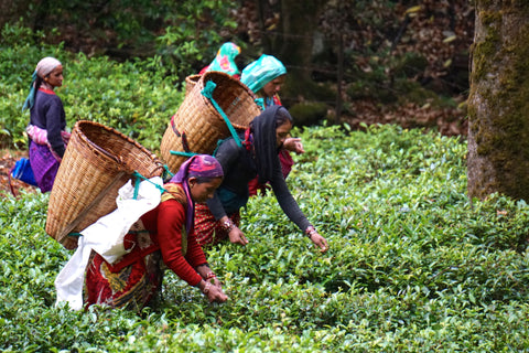 Indian tea pickers in the Himalayas picking fresh green leaf that will be made into our Kumaon White or Black Tea.