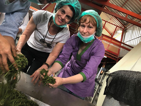 Tea apprentices grabbing withered tea leaves ready to roll into the next step of production.