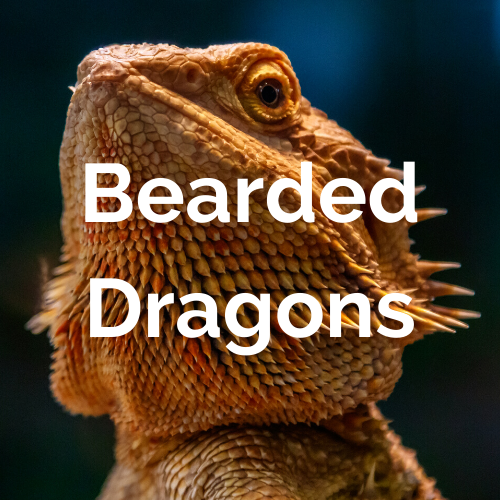 Reptiles - Bearded Dragons