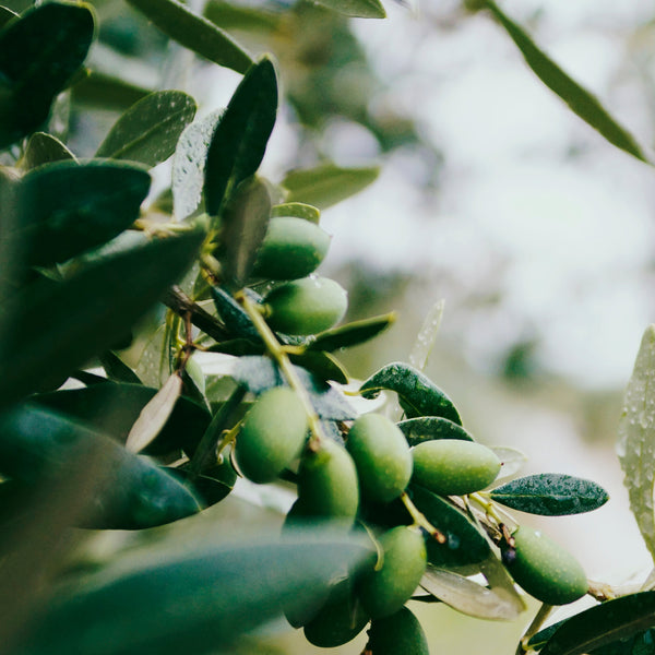 Surprising Benefits Of Olive Leaf Extracts For Immune Boost