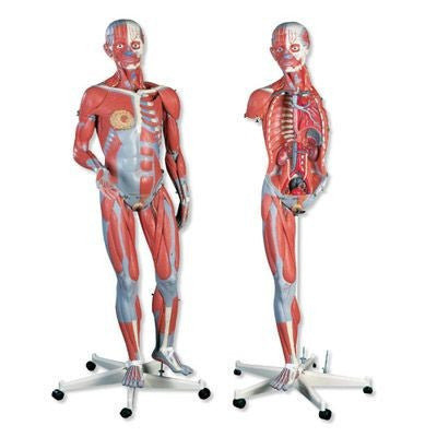 Female Muscular Figure Anatomy Model