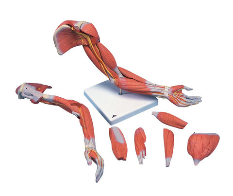 Life-Size Deluxe Muscle Arm Anatomy Model (6 Parts)