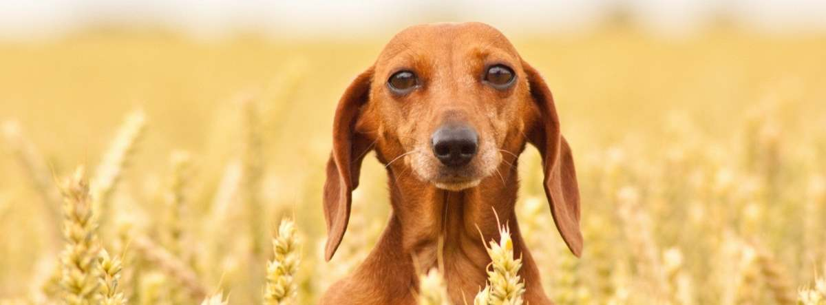 Should You Choose Grain Free Dog Food?