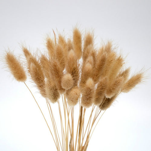 Dried Bunny Tail Plant