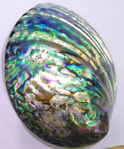 Gorgeous Abalone Cleansing Shell
