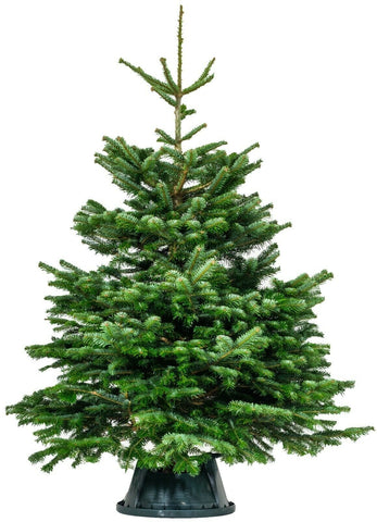 Premium Nordman Fir 6Ft 180cm Christmas Tree Fresh Live Real Christmas Trees
