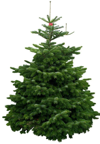 Nordman Fir Christmas Tree - Real UK Grown 5ft 6ft 7ft Xmas Britains Best