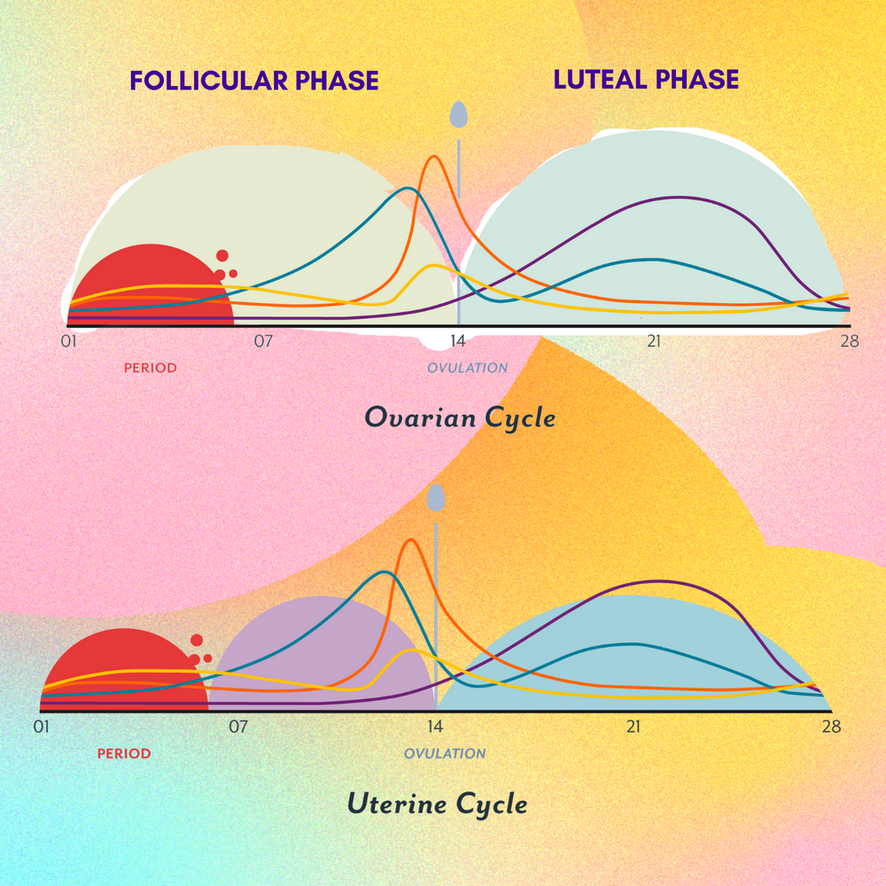 Your menstrual cycle explained in 2 min!