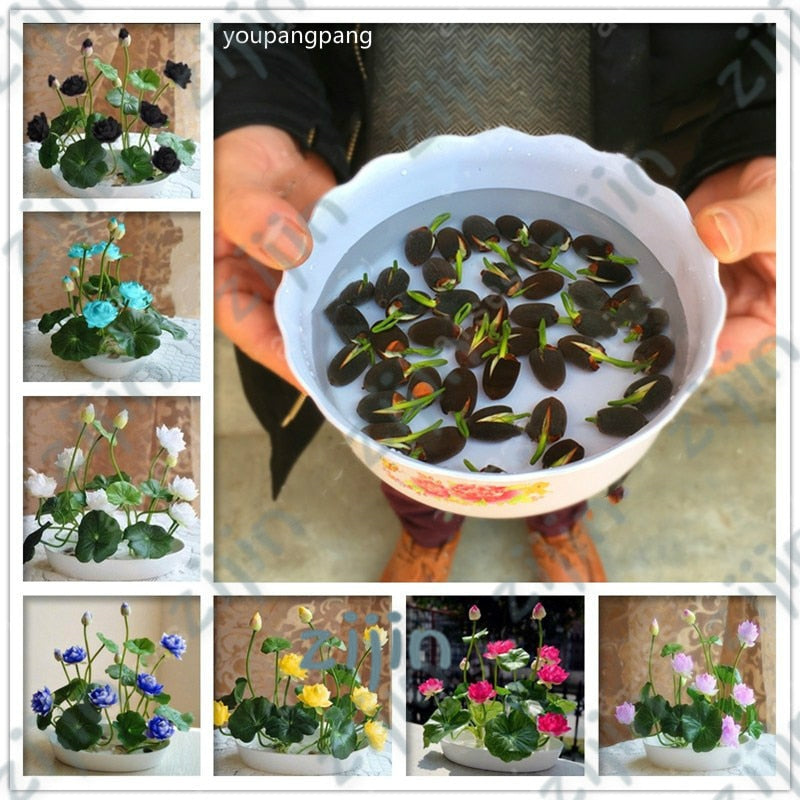 bonsai flower lotus flower for summer 100% real Bowl lotus pots Bonsai garden plants 5pcs/bag (4307595296877)