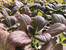 Load image into Gallery viewer, Pak Choi Purple