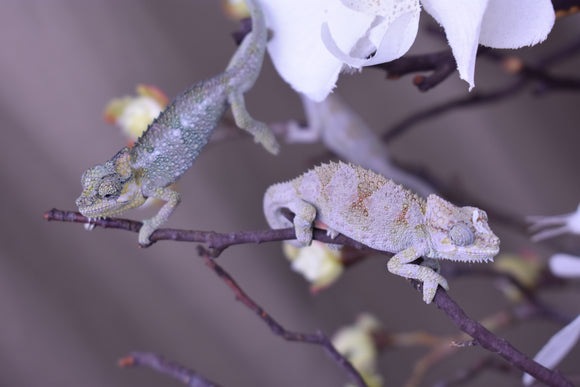 Trioceros Hoehnelii Chameleons Available