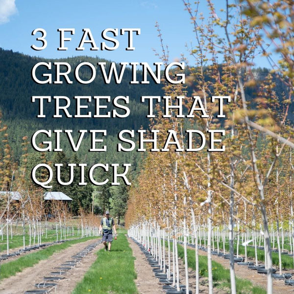 3 Fast Growing Trees That Give Shade QUICK