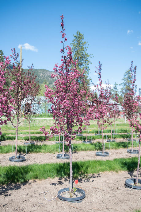 Thunderchild Crabapple - Purple Springs Nursery