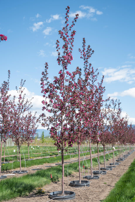 Gladiator Crabapple - Purple Springs Nursery