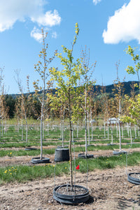 Toba Hawthorn - Purple Springs Nursery