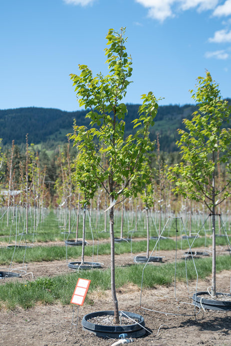 Ivory Silk Japanese Lilac - Purple Springs Nursery