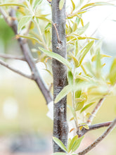 Load image into Gallery viewer, Russian Olive - Purple Springs Nursery