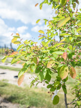 Load image into Gallery viewer, Autumn Brilliance Serviceberry (Tree Form) - Purple Springs Nursery
