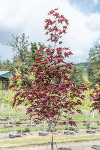 Royal Red Norway Maple - Purple Springs Nursery