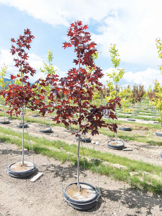 Prairie Splendor Maple - Purple Springs Nursery