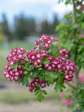 Load image into Gallery viewer, Crimson Cloud Hawthorn - Purple Springs Nursery
