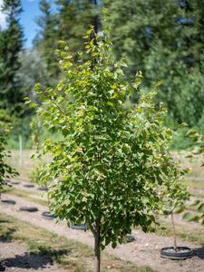 Corinthian Littleleaf Linden - Purple Springs Nursery