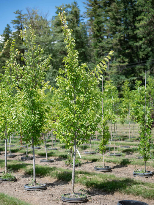 Upright Elm - Purple Springs Nursery