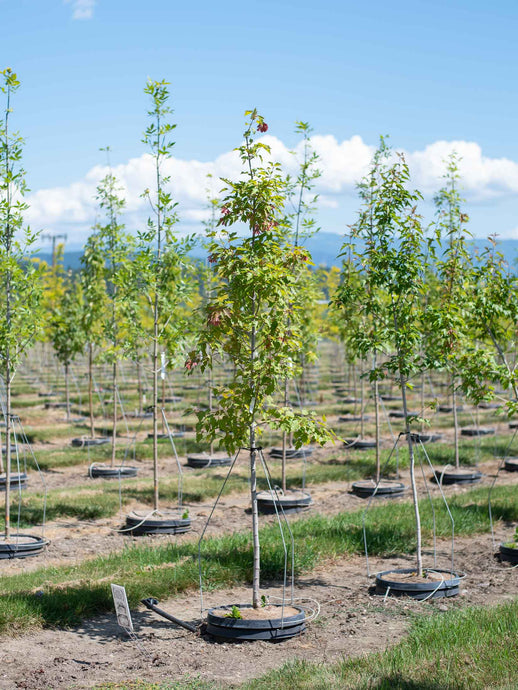 Amur Maple - Purple Springs Nursery