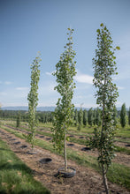 Load image into Gallery viewer, Swedish Columnar Aspen - Purple Springs Nursery