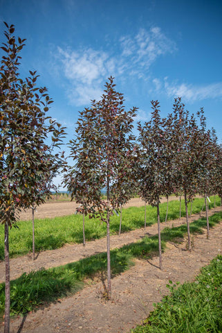 Gladiator Crabapple tree grown in Armstrong BC