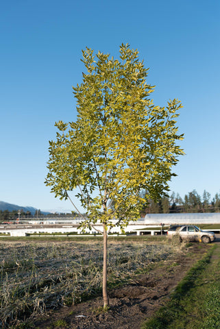 the best shade tree to plant in vernon bc: prairie spire ash