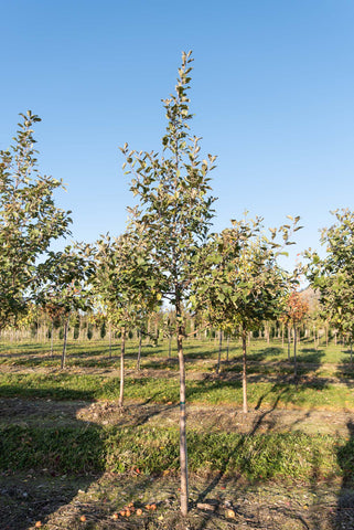 The best ornamental tree to plant in salmon arm bc: honeycrisp apple tree