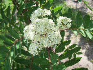 Showy Mountain Ash - Purple Springs Nursery