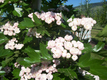 Load image into Gallery viewer, Toba Hawthorn - Purple Springs Nursery