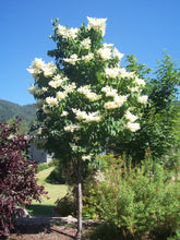Load image into Gallery viewer, Ivory Silk Japanese Lilac - Purple Springs Nursery