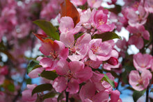 Load image into Gallery viewer, Thunderchild Crabapple - Purple Springs Nursery