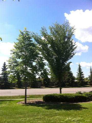 the best fast growing tree to plant in vernon bc: patmore elm