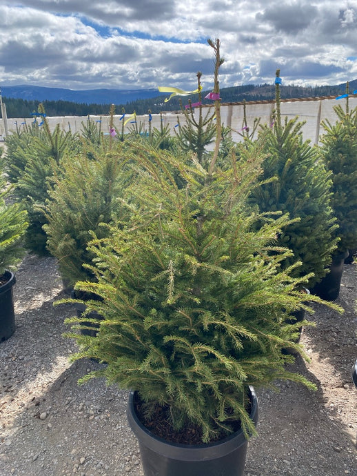 Norway Spruce - Purple Springs Nursery