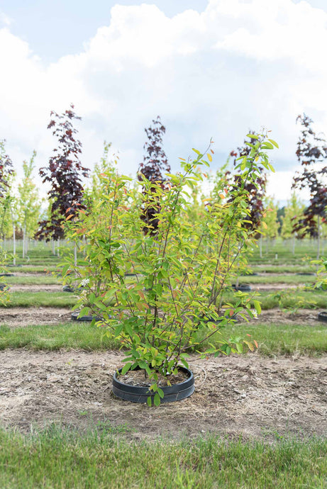 Autumn Brilliance Serviceberry (Shrub Form) - Purple Springs Nursery