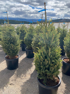 Black Hills Spruce - Purple Springs Nursery