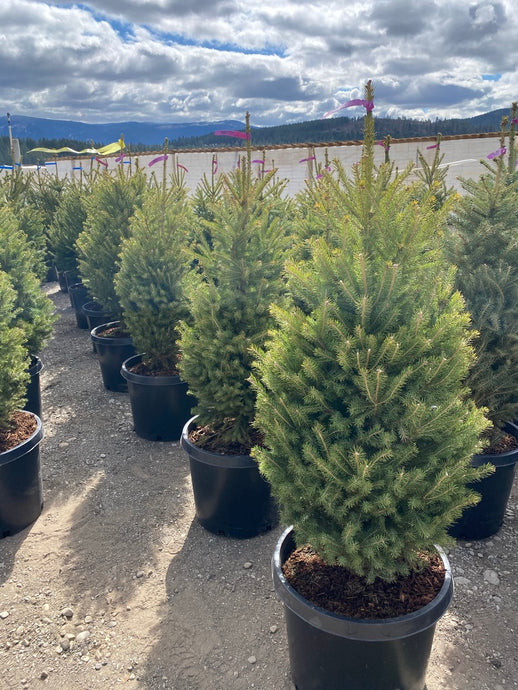White Spruce - Purple Springs Nursery
