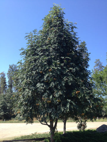 the best ornamental tree to plant in vernon bc: showy mountain ash