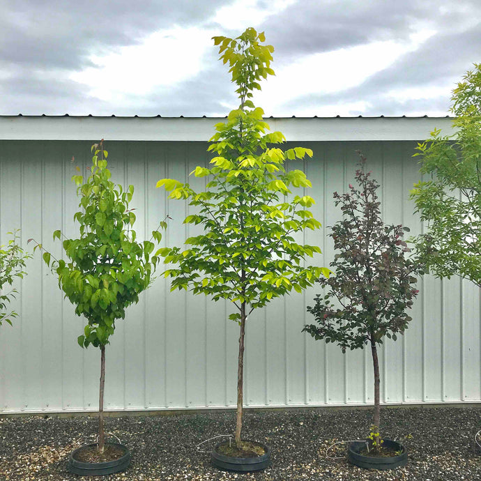 Patmore Elm - Purple Springs Nursery