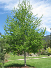 Load image into Gallery viewer, Trembling Aspen - Purple Springs Nursery