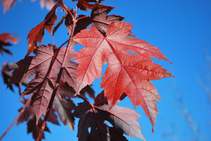 Autumn Blaze Maple - Purple Springs Nursery