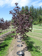 Load image into Gallery viewer, Royal Red Norway Maple - Purple Springs Nursery