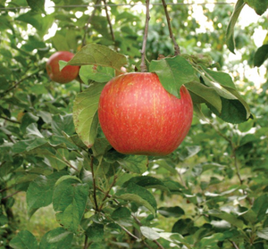 Zestar Apple (Bareroot) - Purple Springs Nursery